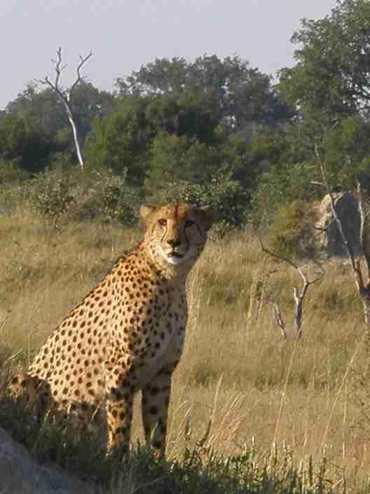 Cheetah at Hwange, Zimbabwe