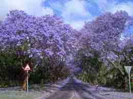 jacaranda in Harare