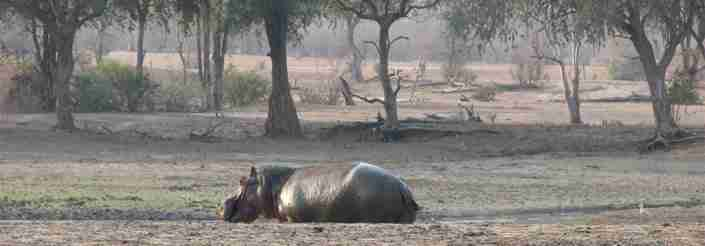 hippo in Mana Pools, Zimbabwe