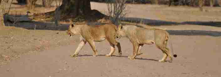 lions in Mana Pools, Zimbabwe