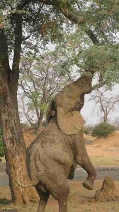 elephant reaching for albida pods