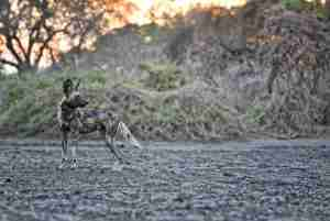 Wild Dog at Kanga Camp