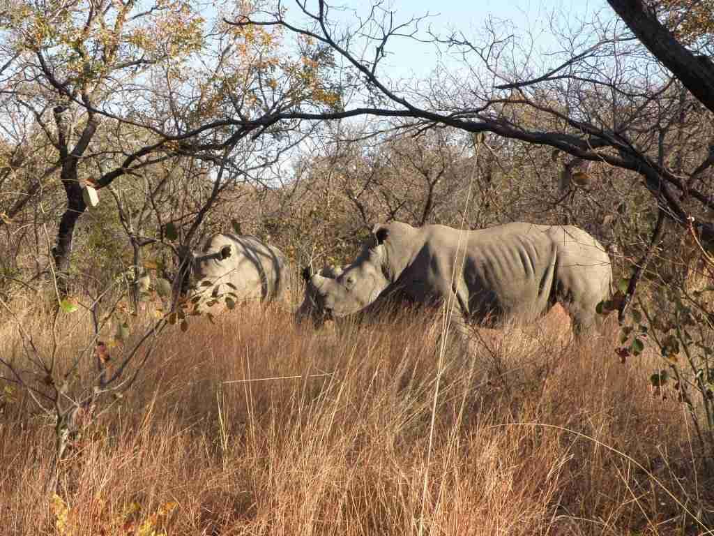 matopos rhinos