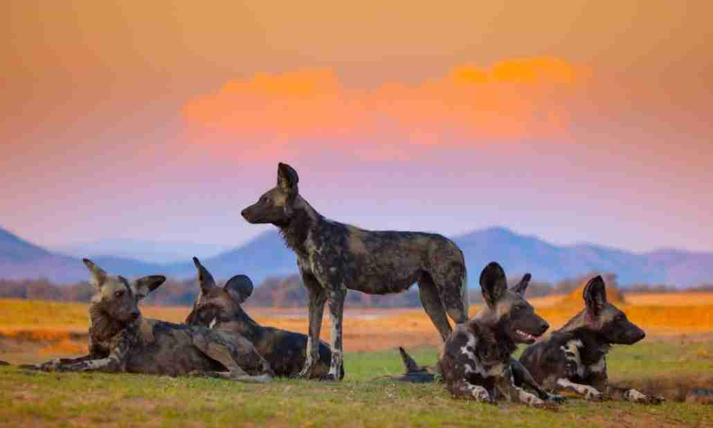 A small pack of wild dogs in Mana Pools, one of the best safari destinations in Zimbabwe